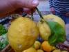Untreated famous Menton lemons