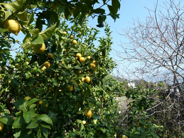 Lemon Tree Closeup