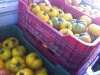 Crates of Yellow Tomatoes