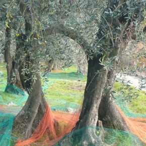 Olive Harvest in Valbonne