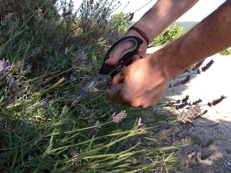 hand and scissors cutting lavendar stems in sunny garden