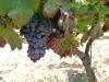 Closeup of grapes
