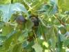 Figs in tree closeup