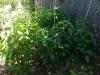 Green Pepper Plants