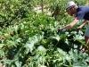 Zucchini harvest