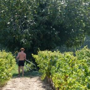 Fig harvest and Fresh Fig Tart