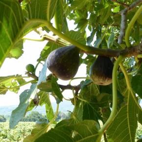 Fig Fennel Ice Cream